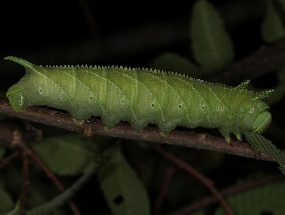 7786 Elm Sphinx Moth Wolf's Den Shawnee St Pk 8-7-16 (41a)_opt