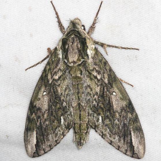 7787 Waved Sphinx Moth yard 8-8-13