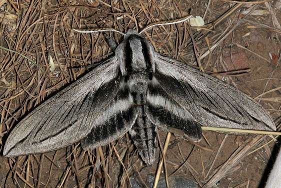 7803 Vashti Sphinx Moth Black Canyon at the Gunnison Natl Pk Colorado 6-14-17 (43)_opt