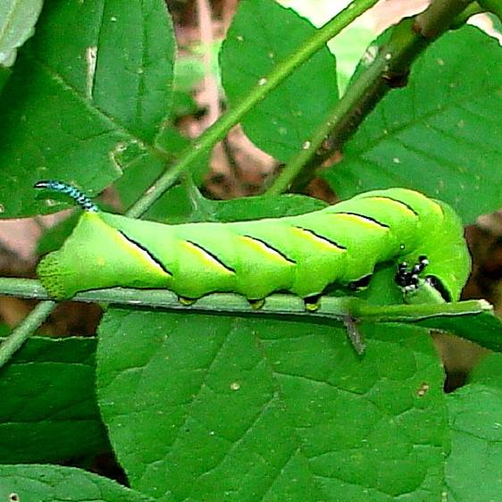 7809 Laurel Sphinx Moth caterpillar on Ash at TNC Darby Headwaters Oh 9-5-14