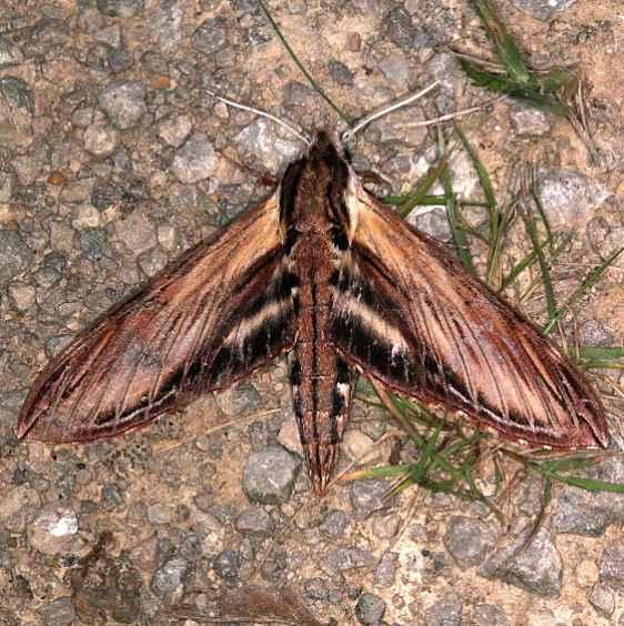 7809 Laurel Sphinx Moth Copperhead firetower Shawnee St Pk 8-6-16 (50a)_opt
