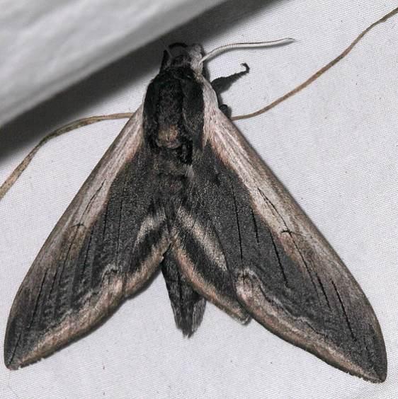 7812 Wild Cherry Sphinx Moth Black Canyon at the Gunnison Natl Pk Colorado 6-13-17 (18)_opt