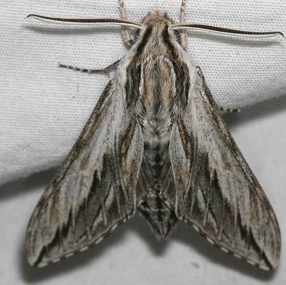7813 Doll's Sphinx Moth Colorado Natl Monument 6-17-17 (271)_opt