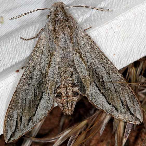 7814 Sequoia Sphinx Moth White House campground Grand Staircase Escalnte Utah 5-25-17 (4)_opt