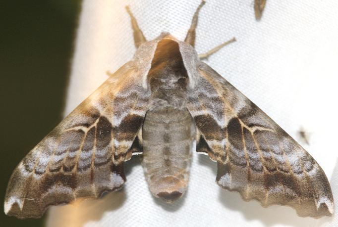 7821 Twin-spotted Sphinx Moth Thunder Lake UP Mich 6-24-12