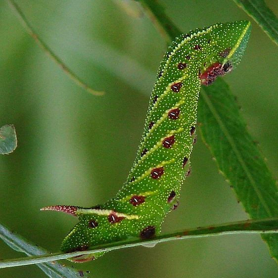7824 Blinded Sphinx caterpillar on Willow at Estelle Wenrick Preserve Clark Co Oh 9-8-14