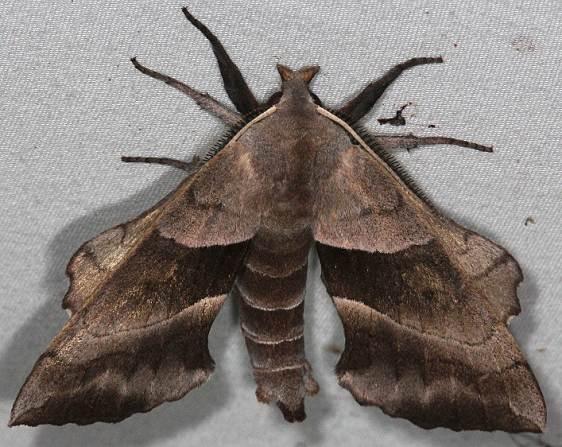 7827 Walnut Sphinx Moth Silver Lake Cypress Glenn Fla 3-16-15