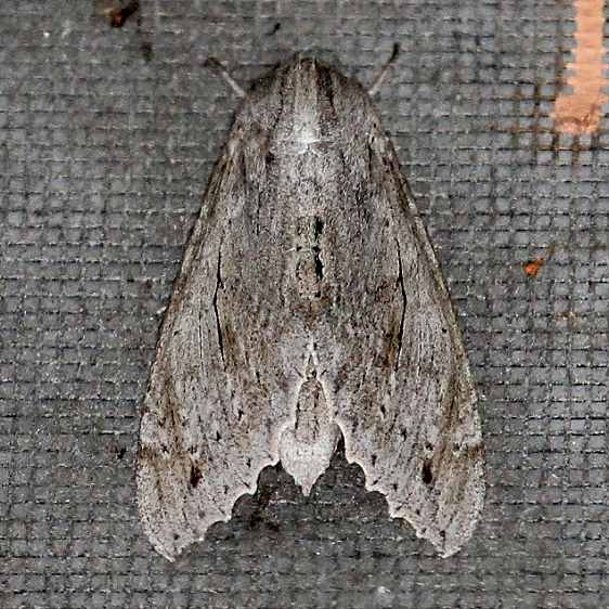 7834 Ello Sphinx Moth Collier Seminole St Pk 3-4-15