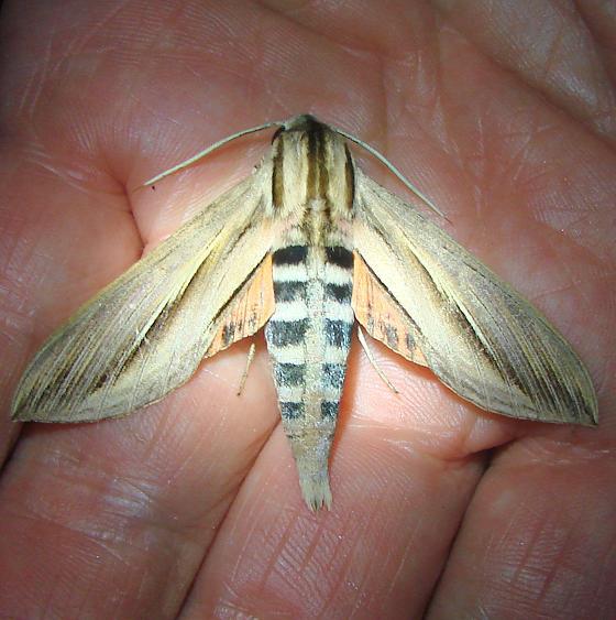 7840 Caicus Sphinx Moth Mahogany Hammock Everglades 2-27-12