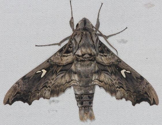 7843 False-windowed Sphinx Madoryx pseudothreus Collier Seminole St Pk 3-2-14