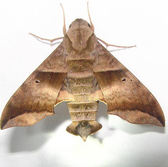 7846 Half-blind Sphinx Moth Royal Palm Everglades 2-26-12