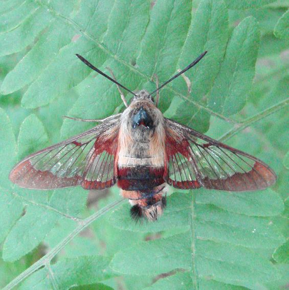 7853 Hummingbird Clearwing Moth Thunder Lake UP Mich 6-18-10