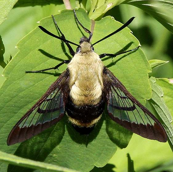 7855 Snowberry Clearwing Moth Schivly Fen Logan Co 6-25-16 (16a)_opt