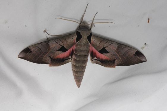 7861 Achemon Sphinx Moth Kissimmee Prairie St Pk 3-12-13