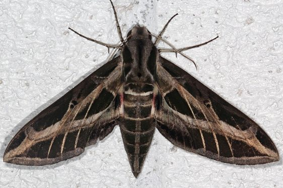7865 Banded Sphinx Moth NABA Gardens Mission Texas 11-2-16_opt