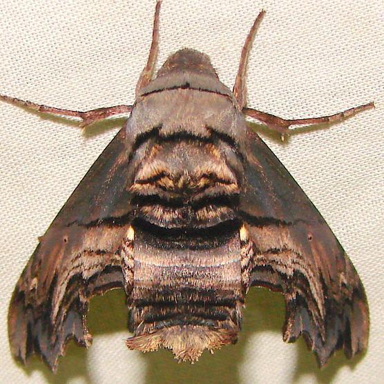 7870 Abbot's Sphinx Moth yard 5-9-11