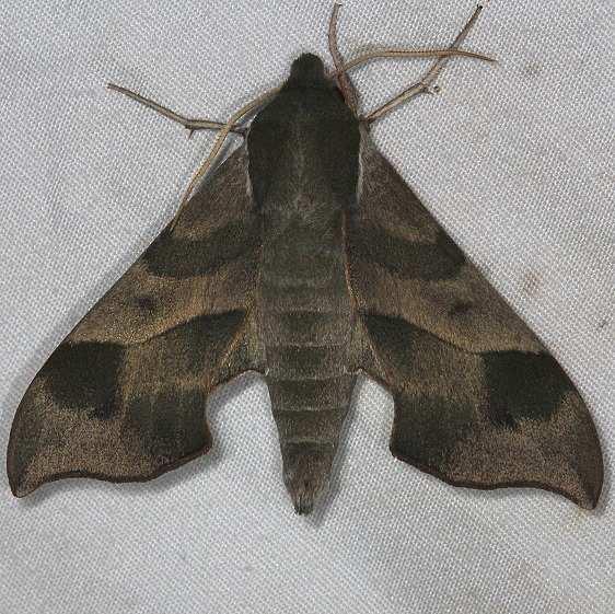 7885 Virginia Crepper Sphinx Moth Huffman Prairie WPAFB Dayton Oh 7-27-14