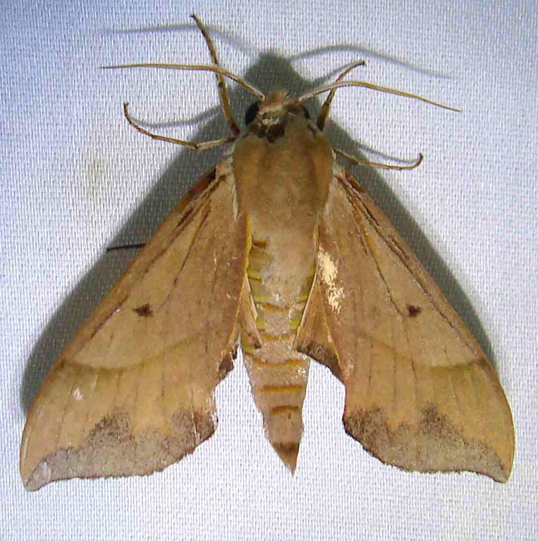 7886 Azalea Sphinx Moth Payne's Prairie St Pk 3-20-12