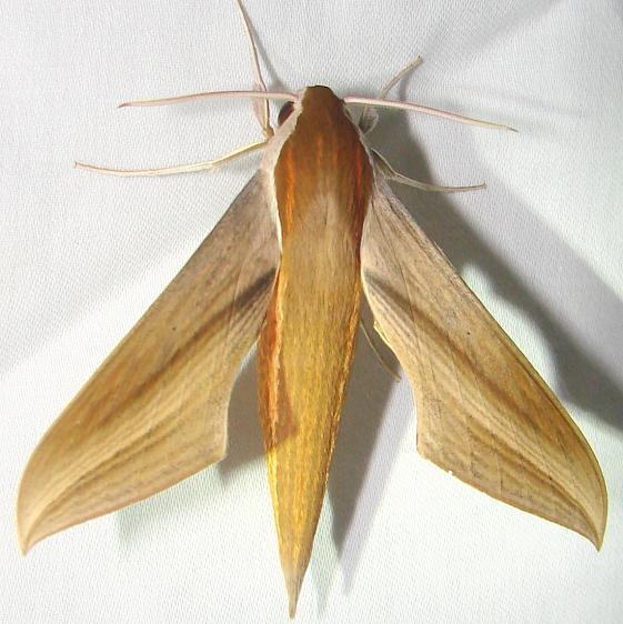 7890 Tersa Sphinx Moth Royal Palm Everglades 2-26-12