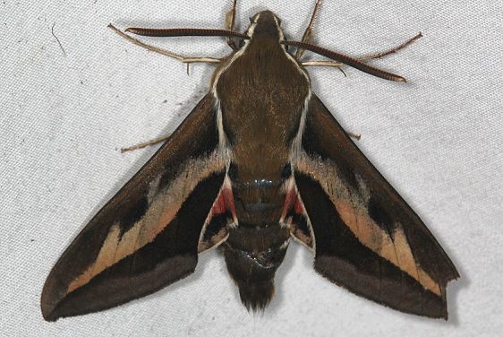 7893 Gallium Sphinx Moth Ash Rapids Lodge Lake of the Woods Ont 7-20-17 (16)_opt