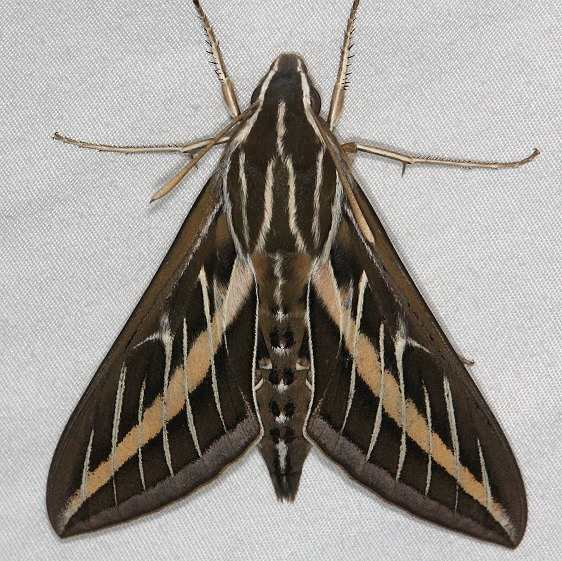 7894 White-lined Sphinx Moth yard 7-24-14