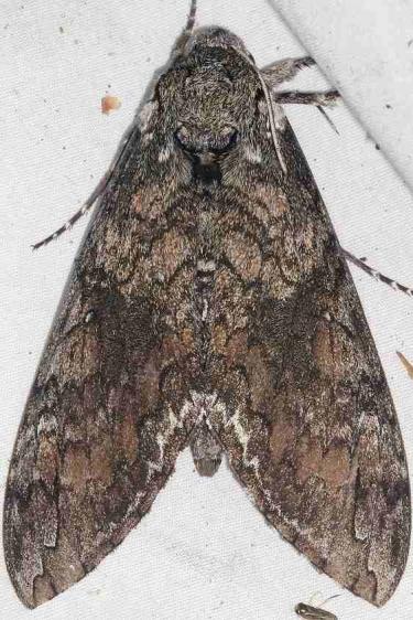7775 Carolina Sphinx Moth yard 9-5-15