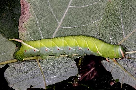7787 Waved Sphinx Moth caterpillar on Ash in yard 9-4-14