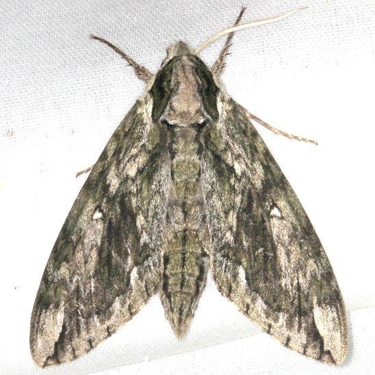 7810 Apple Sphinx Moth yard 7-26-13