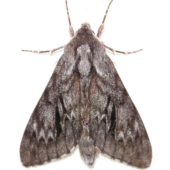7817 Northern Pine Sphinx Moth Thunder Lake Mich 6-23-12