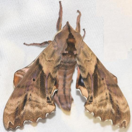 7824 Blinded Sphinx Moth Thunder Lake UP Mich 6-26-12