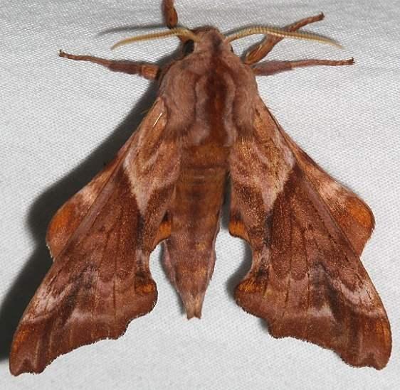 7826 Huckleberry Sphinx Moth Mesa Verde Colorado 6-11-17 (19)_opt