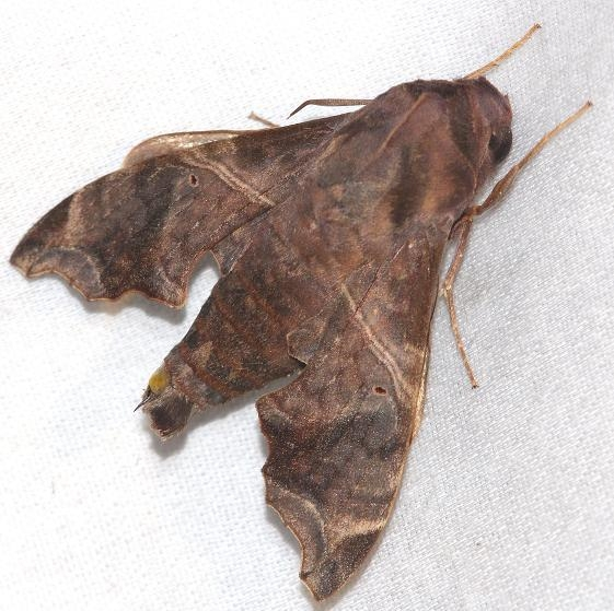 7851 Mournful Sphinx Little Talbot Island St Pk Fl 2-19-13