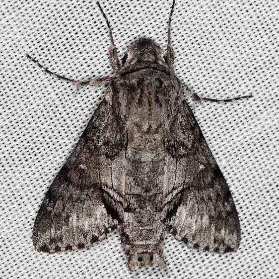 7867 Cautethia grotei Grote's Sphinx Moth Pine Glade Lake Everglades 2-21-14