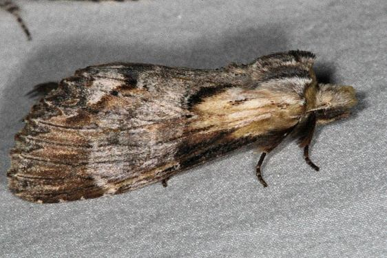 7957 Black-spotted Prominent Moth Thunder Lake UP Mich 6-20-15