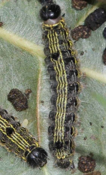 7896 Angle-lined Prominent Caterpillar Pleasant Valley Metro Pk 8-24-16 (1)