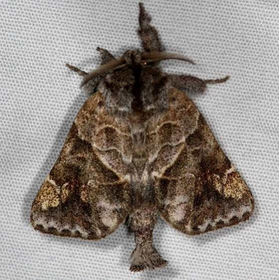 7898 Striped Chocolate-tip Moth Thunder Lake UP Mich 6-17-16 (7a)_opt