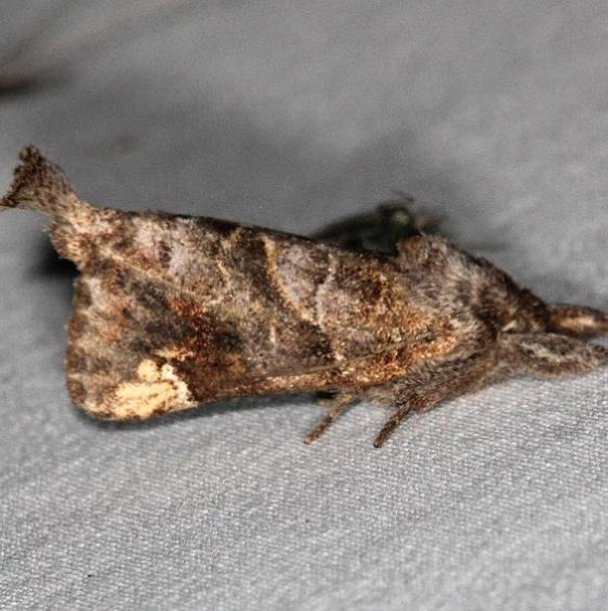 7898 Striped Chocolate-tip Moth Thunder Lake UP Mich 6-20-16 (20a)_opt