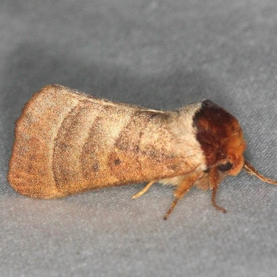 7906 Contracted Datana Moth yard 7-30-13