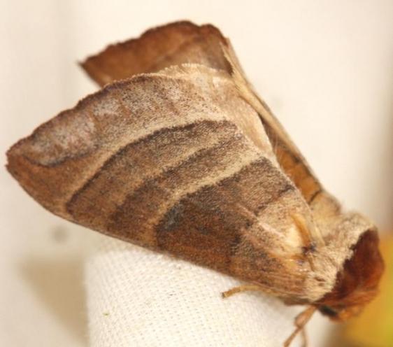 7907 Walnut Caterpillar Moth yard 5-24-12