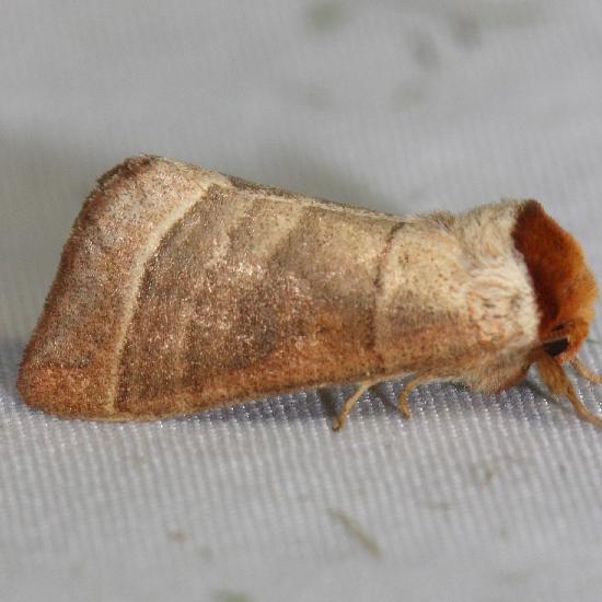7907 Walnut Caterpillar Moth yard 6-5-12