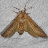 7915 White-dotted Prominent Moth Burr Oak St Pk at cabins Oh 6-27-14
