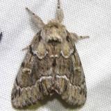 7917 Georgian Prominent Moth Grasshopper Lake Ocala Natl 3-15-12