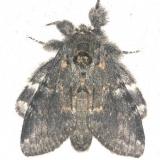 7920 Angulose Prominent Moth yard 7-30-13