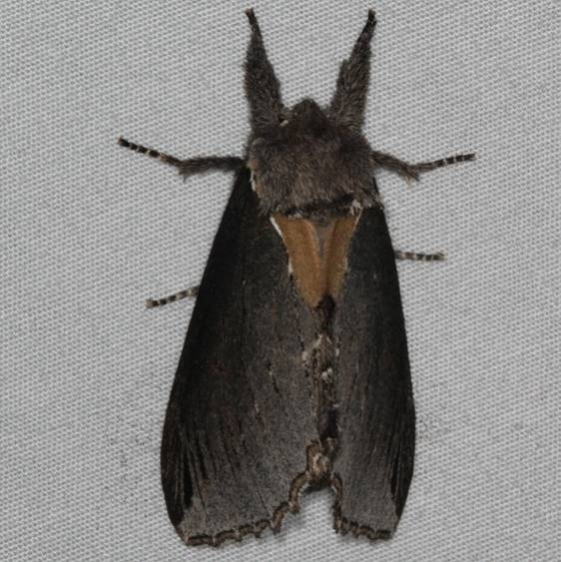 7924 Elegant Prominent Moth Thunder Lake UP Mich 6-19-15