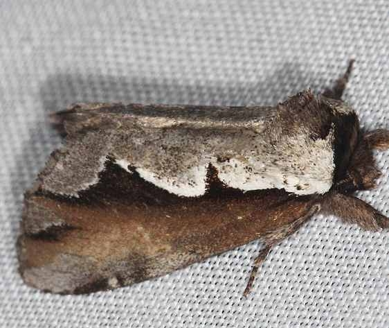7929 Double-toothed Prominent Moth Lake of the Woods Ontario 7-27-16 (11a)_opt