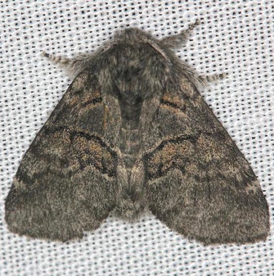 7931 Common Gluphisia Moth yard 5-2-13