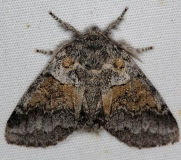7931 Common Gluphisia Moth yard 7-12-16 (1a)_opt
