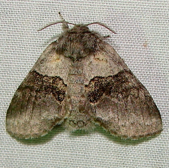 7931-Gluphisia-septentrionis-Thunder-Lake-UP-Mich-6-21-11