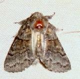 7934-Gluphisia lintneri Thunder Lake UP Mich 6-18-11