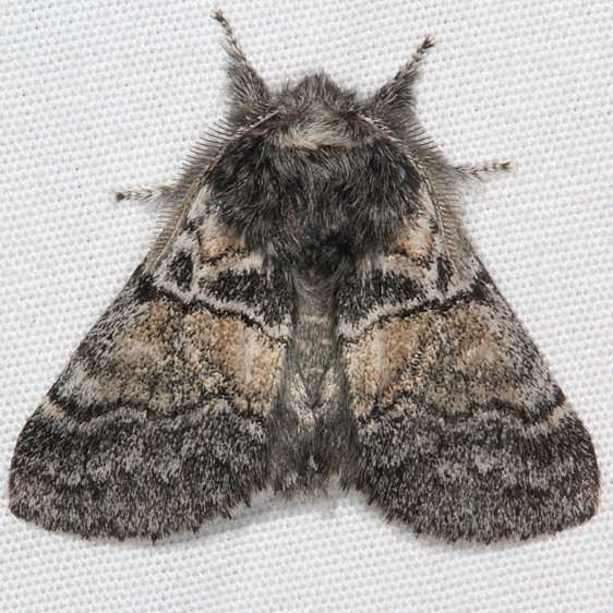 7934 Linter's Gluphisia Moth Pine Lake Dixie Natl Forest Utah 5-31-17 (24)_opt